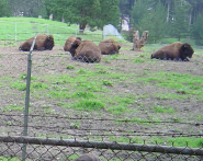 Buffalo Paddock - Attraction -