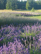 Red Barn Lavender - Attraction - 3106 Thornton Rd, Ferndale, WA, USA