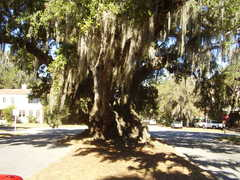 Lovers oak - Attraction -