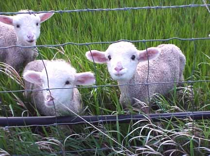 Copenhaver Sheep Center - Attractions/Entertainment - 