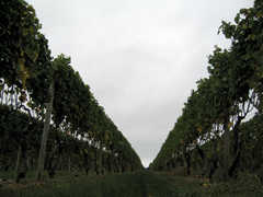 Pindar Vineyards - Vineyard - 39935 Route 25, Peconic, NY, United States