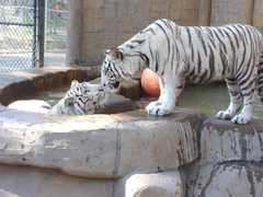 Cat Tales Zoological Park - Attraction - 17020 North Newport Highway, WA, United States