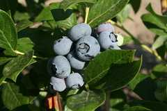 Emery's Blueberry Farm - Outdoor Fun - 346 Long Swamp Rd, New Egypt, NJ, 08533