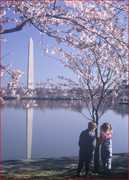 National Cherry Blossom Festival - Attraction - Tidal Basin, US