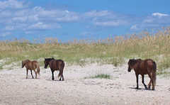 Shackleford Banks - Attraction -