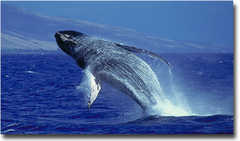 Pacific Region National Marine Sanctuaries, NOAA Hawiaian Islands Humpback Whale - Attraction - 726 South Kihei Road, Kihei, HI, United States