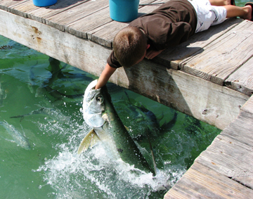Tarpon Feeding - Restaurants, Attractions/Entertainment - 77522 Overseas Hwy, Islamorada, FL, 33036
