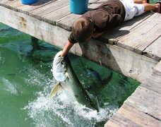 Tarpon Feeding - Fun Stuff - 77522 Overseas Hwy, Islamorada, FL, 33036