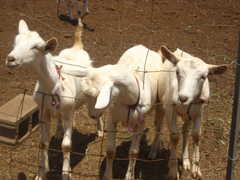 Surfing Goat Dairy - Attraction - 3651 Omaopio Rd, Kula, HI, 96790