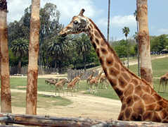 San Diego Wild Animal Park - Attraction - 15500 San Pasqual Valley Rd, Escondido, CA, USA