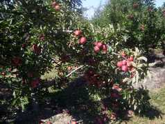 Frecon Orchards -- Apple Picking - Attraction - 501 South Reading Avenue, Boyertown, PA, United States