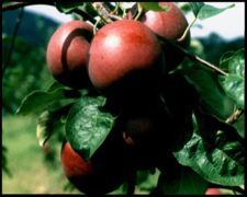 Bartlett's Apple Orchard - Attraction - 575 Swamp Rd, Pittsfield, MA, 01201, US