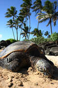 Laniakea Beach (turtle beach) - Attraction - Laniakea Beach, Haleiwa, HI 96712, Haleiwa, HI, US