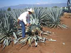 Tequila - Attraction - Tequila, Tequila, Jalisco, MX