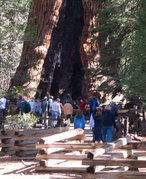 Mariposa Grove of Giant Sequoias - Attraction -