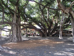 Banyan Tree Park - Attraction - 649 Wharf St, Lahaina, HI, United States