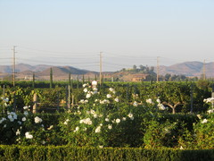 Temecula Valley Wineries - Attraction - 34567 Rancho California Rd, Temecula, CA, 92592